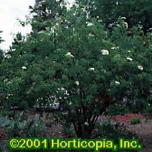American Elderberry