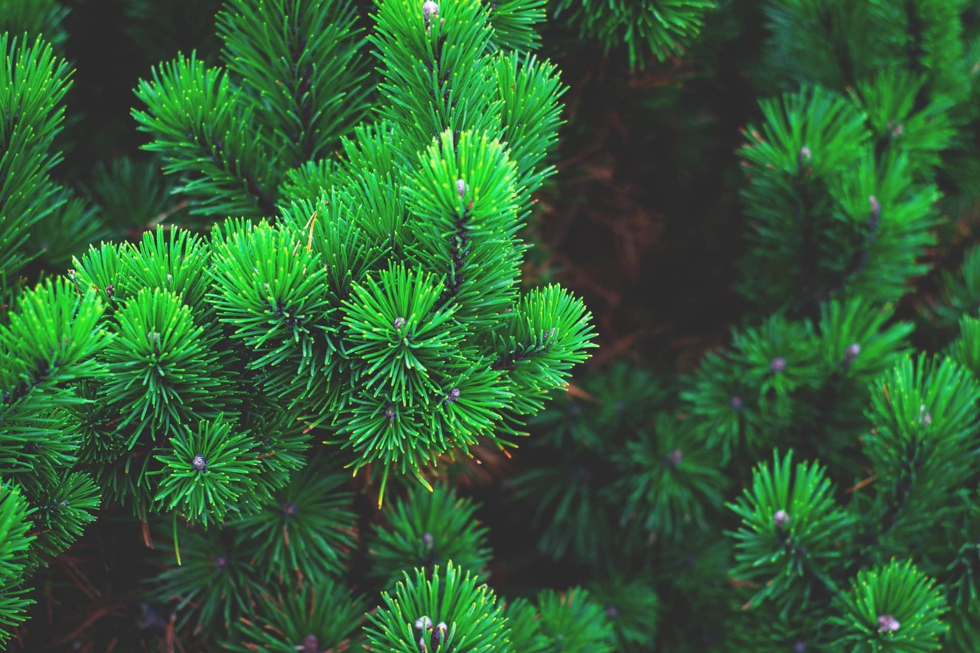 pine-tree-photo-243945
