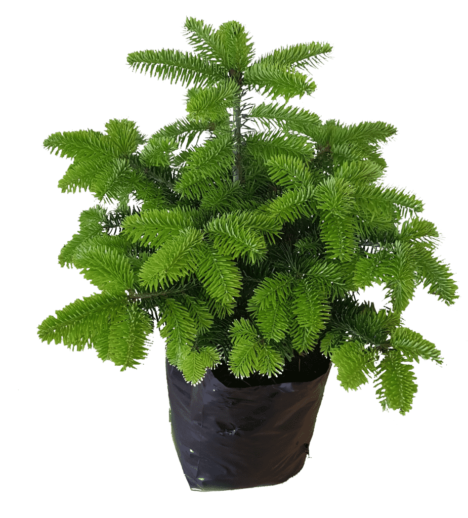 potted spruce tree plant